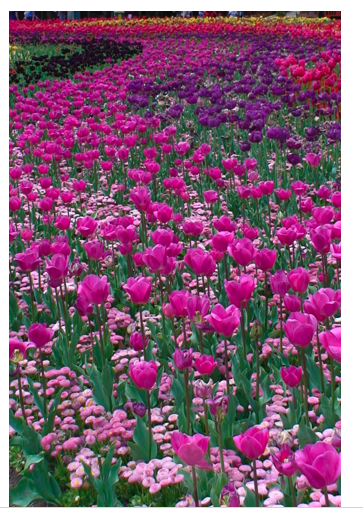 Pink Flowers 2.png