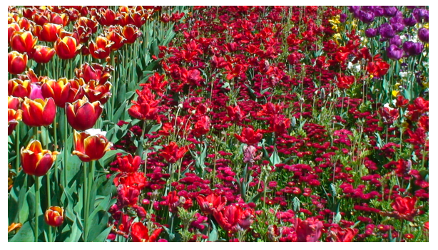 Red flowers tulips .png