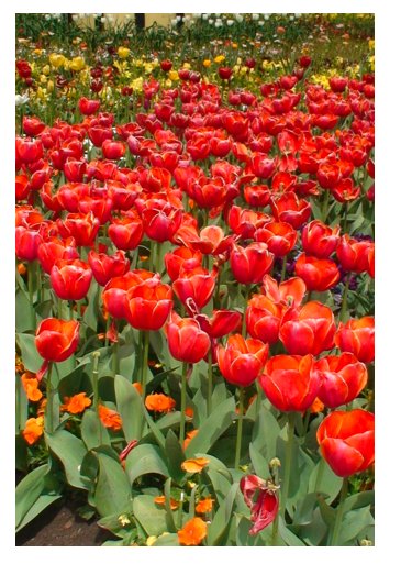 Red flowers tulips portrait.png