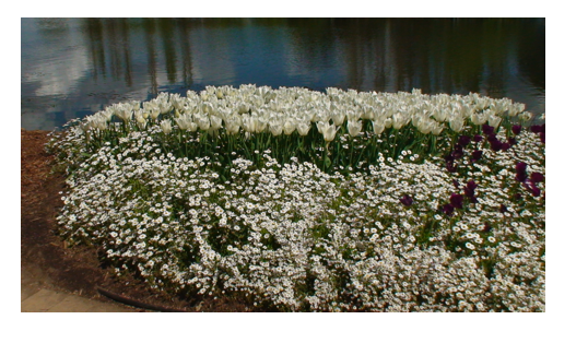White flowers.png