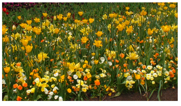 Yellow daffodils.png