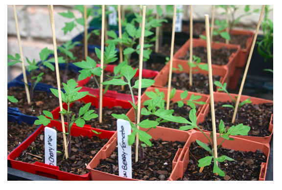 tomato seedlings.png