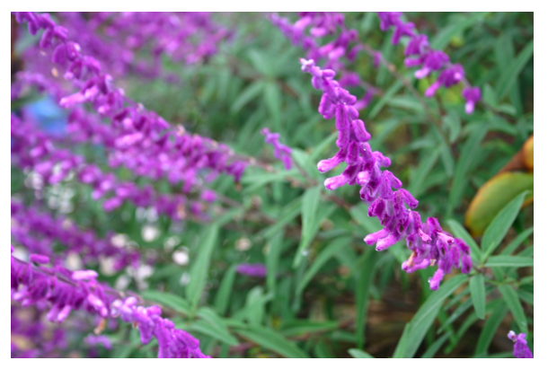 mexican sage flower.png