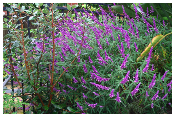 mexican sage.png