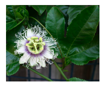 passionfruit flower.png