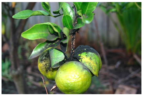 What S Wrong With My Citrus Tree The Veggie Lady