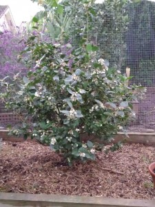 blueberry plant 1