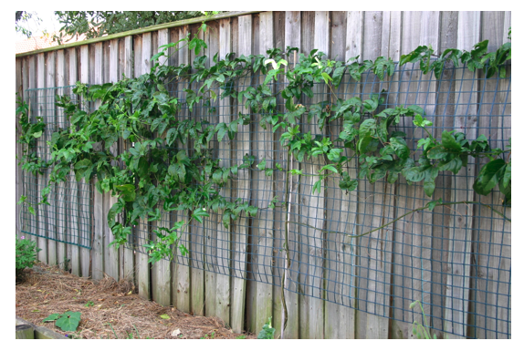Pictures Of Passion Fruit Vine